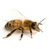 Bee stings and stinger removal: have we been doing it right?