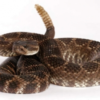 Venomous snakes in Washington – What are the chances you'll meet one?
